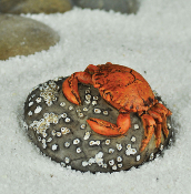 Crab on Rock for Miniature Fairy Gardens