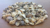 Fairy Sized Seashells (10 oz Jar) For Miniature Gardens